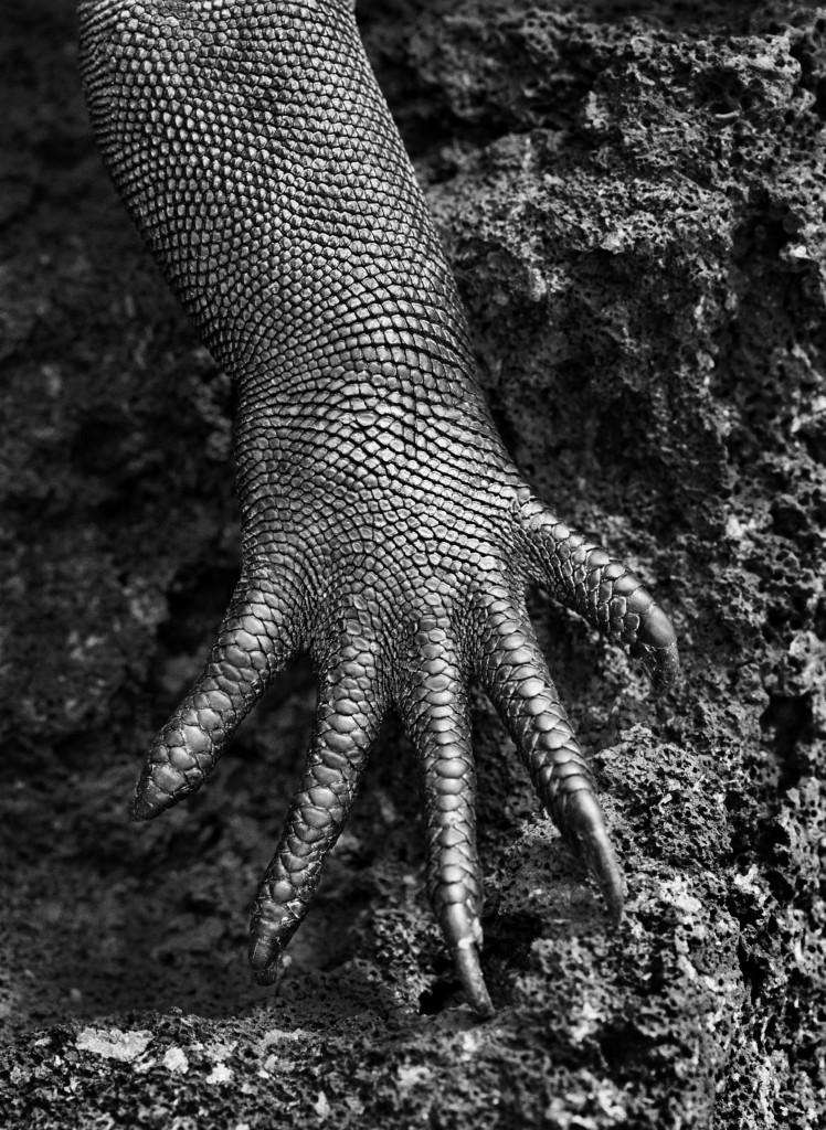 CAST Iguana marina #299590439